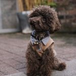 Billy the Toy Poodle